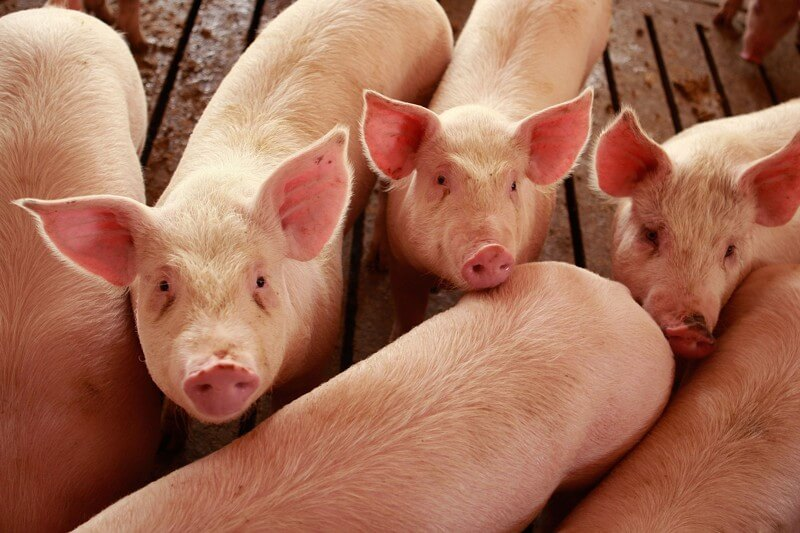 National Pig Day 2018 - March 1
