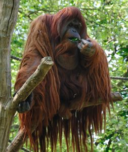 International Orangutan Day