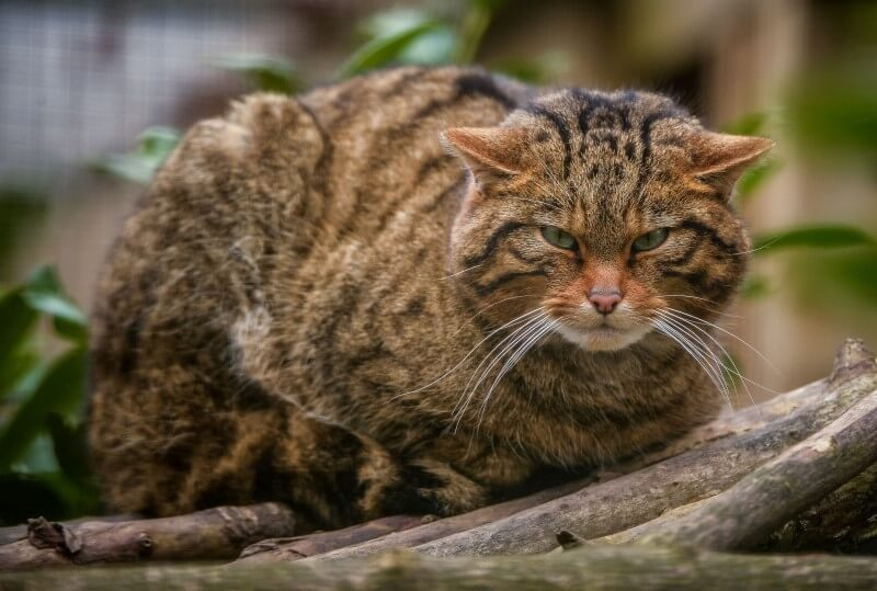 Scottish Wildcat Day