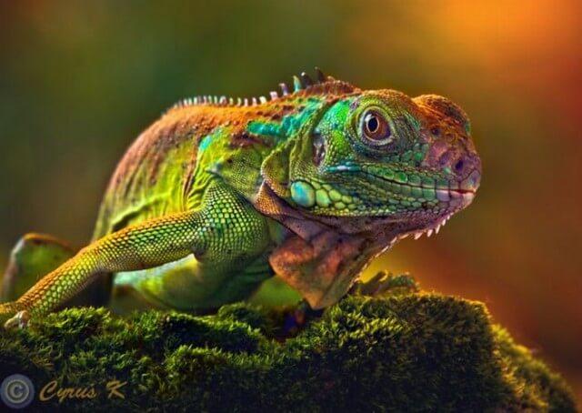 Iguana Awareness Day