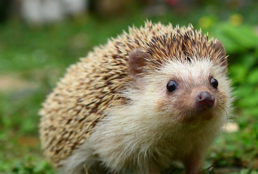 National Hedgehog Day