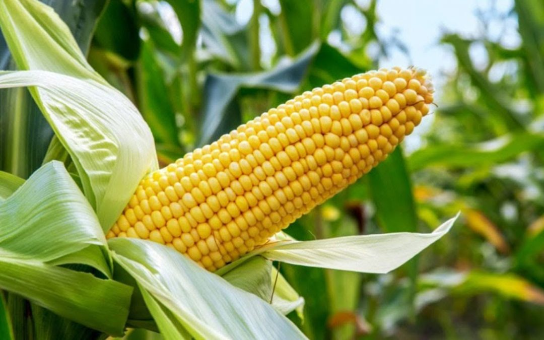 National Maize Day – November 29, 2019