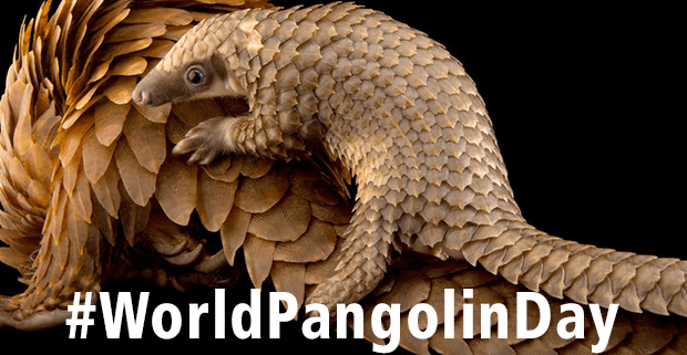 World Pangolin Day 2018 - February 17