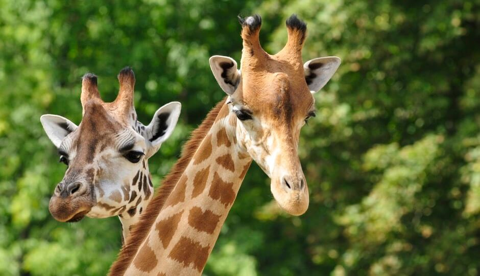 World Giraffe Day