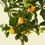 International Plant a Lemon Tree Day