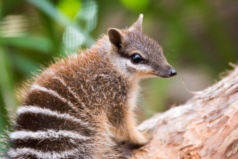 World Numbat Day – November 2, 2019