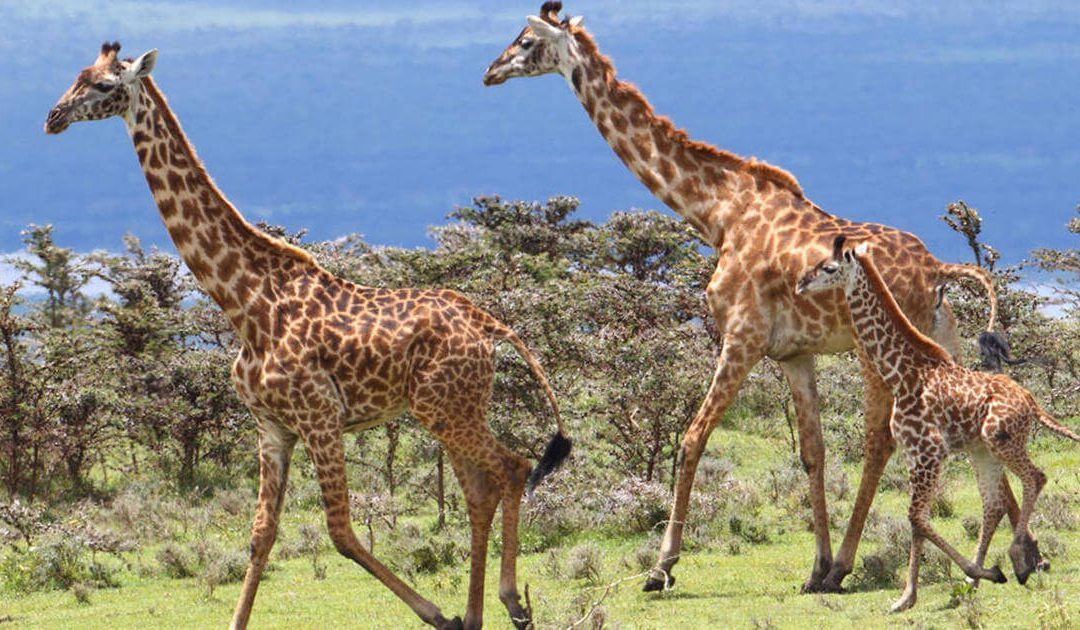 World Giraffe Day – June 21, 2020