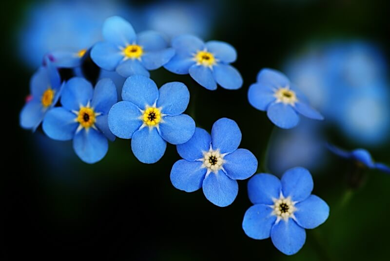 National Forget Me Not Day – November 10, 2020