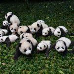 National Panda Day