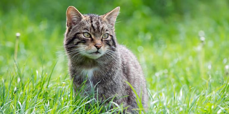 Scottish Wildcat Day